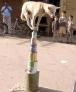 狗狗耍杂技。七个圆柱形的罐子摆放成金字塔状,目测有一米多高。你说,要跳上这么高的位置,并且最高位置的圆柱型罐子面积这么小,要站稳并且罐子要不掉,这只小狗是如何做到的?