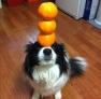 """狗狗顶橙子。这只小狗乖乖地仰起头,任凭主人把三只橙子叠放到它的脑门,小狗两只圆碌碌的眼睛看着这三只橙子一动不动,等待主人把它拍下来,真是一只称职的""""小模特""""。"""
