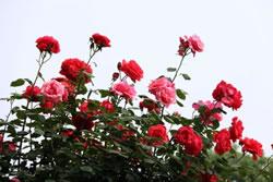 戈壁上的玫瑰园 奥克斯挑战火山高温